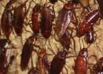 Китай наращивает производство тараканов